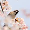 櫻の花びらと鳥たち