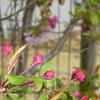 日本蜜蜂の分蜂