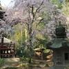 吉高の大桜と松虫姫の寺。 ちーば探険隊。