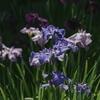 清澄庭園の花菖蒲