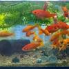 金魚注意報