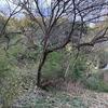 梅の木を伐採