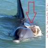 野生生活とは過酷です:イルカの野生生活は飼育に比べ生死にかかわるリスクが高いです。