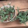 セダム・マジョールの成長と花芽挿しの結果です。