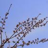 さくらの山の桜は咲いたか