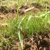 テントウムシ、小麦から飛び立つ ~テントウムシと芝処理~