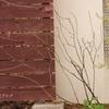 バラ苗の植え付け、モッコウバラのシュートの色