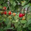 家庭菜園:プチトマト