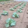 皆さんはキャベツとブロッコリーの苗の区別がつきますか?