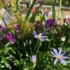 夏の寄せ植えやバラのつぼみ状況