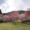 桜の園・・・啓翁桜