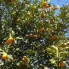 金柑の収穫とナーベラーの種まき