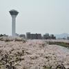 満開の桜の下で(五稜郭公園1)…