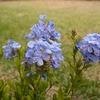 オレンジ家の裏庭便り ~蚊除けにいかが?蚊連草 と 連れて来た 青い花