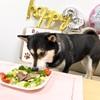 柴犬・大和ちゃんの超ご馳走!3歳の誕生日!HappyBirthday🎉