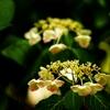LUMIX G2にCanon FL50mmF1.4で上野公園の紫陽花