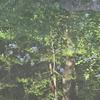 池に映ったキキョウ