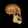 人類の進化:ホモ属各種 ②初期ホモ属(ホモ・ハビリス/ホモ・ルドルフェンシス)