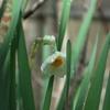 やっと咲いた水仙と。
