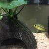 アピストグラマの稚魚育成計画