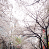 2017年お花見 ファイナル 八重洲