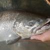 肴の川魚料理【ブラウントラウト】