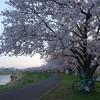 桜ラリーポタ