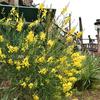 ウェスタンが黄色い花が多い理由?
