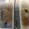 トウブドロガメ、子亀成長記  3