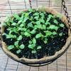 初心者ベランダ菜園3ヶ月半、ルッコラの成長と新たな種まき