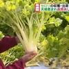 熊本市でセロリの収穫が最盛期