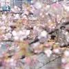 JR根岸線 大岡川の桜 2016 その1