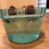 【定点観察】ヒヤシンスの水栽培