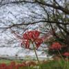 広角XF 16mmで彼岸花を撮る。広角で撮るのも世界が変わる【365プロジェクト】79/365