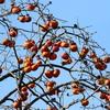 秋の恵みの柿を食べるハシブトガラス