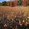 題名「秋のハス池」