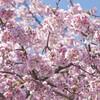 上野恩賜公園に桜を撮りに行ってきたよ