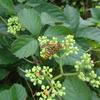 蜂に刺されアナフィラキシーショック死の危険