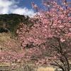 見帰りの滝 河津桜2020  春間近・・・・