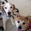 犬病院と雑な柴