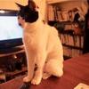 エリザベスカラーや包帯を嫌がる術後の猫には手術着がおすすめです