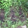小ぶりなニンニクを収穫
