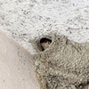 トックリ型の巣の中のヒナにエサを運ぶ親のコシアカツバメ