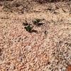 今日の庭の変化 じゃがいもの芽が出た