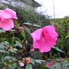 雨露で重たげに咲く薔薇たち