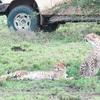 【タンザニア】チーターのハンティング!セレンゲティの隣、Ndutu (ンドゥトゥ)