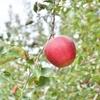 理学療法士・作業療法士の貴方は知っていましたか?黄金の果実「リンゴ」が身体を作る「その効能とは?」