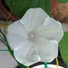 【庭の昼顔】「ヘブンリーブルー」が待ち遠しいけど、まだ咲かない。