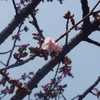 万代長嶺小学校脇の桜2012年(4/2)