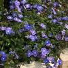 3年目のベロニカ・オックスフォードブルーが満開! 青紫色の小花に引き込まれる!